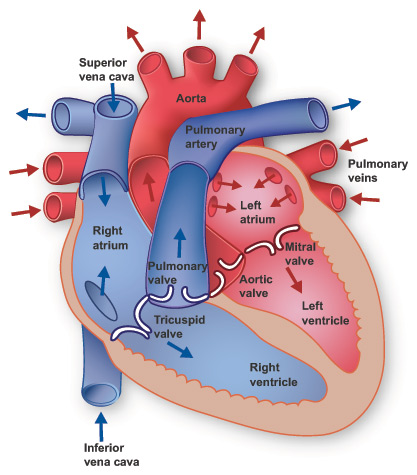Anatomy Of The Heart Free Cpr Training
